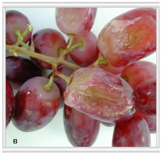 Post-harvest agricultural grape research on soft tissue breakdown