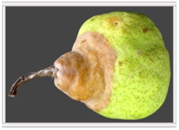 Post-harvest agricultural research on pome fruit stem decay in pears