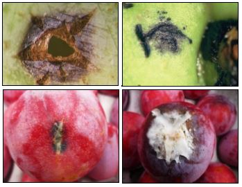 Post-harvest decay on stone fruit agricultural research