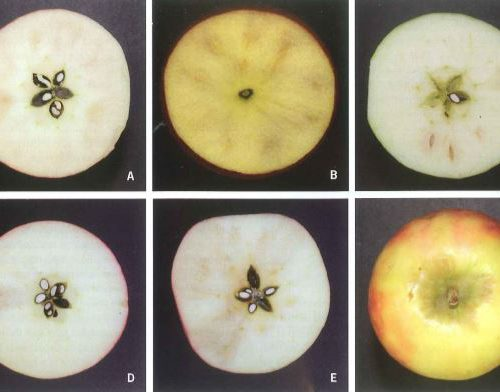 Post-harvest research on internal browning disorders in cripps pink Pink Lady TM apples