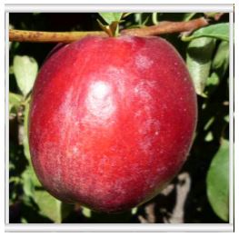 Pre-harvest agricultural research new cultivar evaluation stone fruit