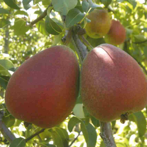 Cheeky pear ian crouch bridging the gap pear research blushed pear cultivar experico export