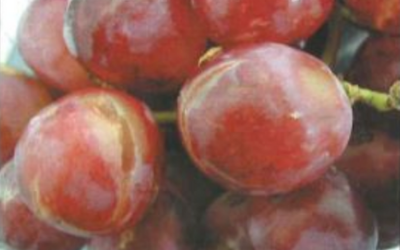 TABLE GRAPE SUSCEPTIBILITY TO SO2 DAMAGE