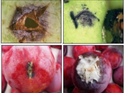 POST-HARVEST DECAY ON STONE FRUIT – PART 1