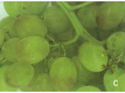 POSSIBLE ROLE OF FORCED-AIR COOLING IN BERRY BROWNING OF TABLE GRAPES