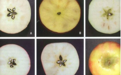 CAUSES & MANAGEMENT STRATEGIES OF BROWNING DISORDERS IN 'CRIPPS PINK' APPLES