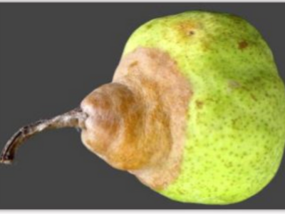 STEM DECAY ON COLD STORED PEARS